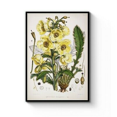 Vintage Yellow Poppy Flower Botanical Drawing Art Print Poster A4 - B1 Framed