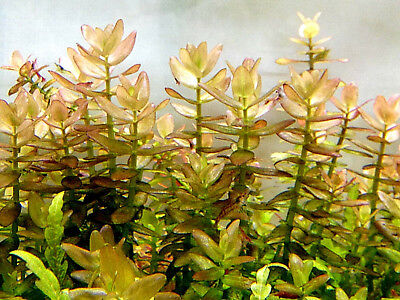 10  x BACOPA CAROLINIANA Nice Live Aquarium FISH TANK Plants Very easy