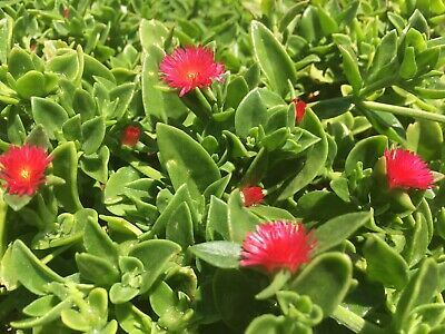 aptenia cordifolia red apple an ice plant a                     succulent, covers fences fast