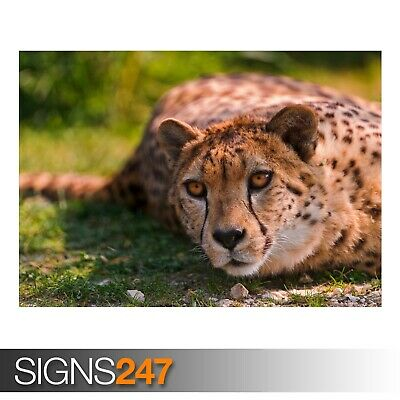 Animal Poster Poster Print Art A0 A1 A2 A3 A4 3476 CHEETAH SAVANNA AFRICA