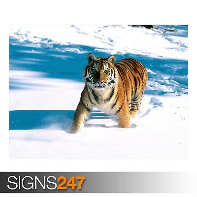 3533 SIBERIAN TIGER Animal Poster Picture Poster Print Art A0 A1 A2 A3 A4