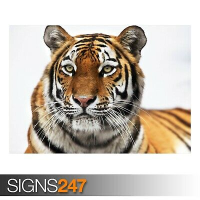 3493 TIGER IN WINTER Animal Poster Picture Poster Print Art A0 A1 A2 A3 A4