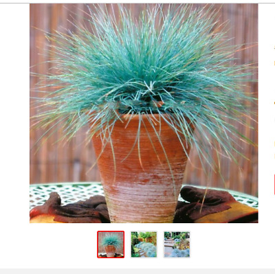 200 Blue Fescue (Festuca - glauca) Grass Bonsai Flower Hardy Perennial Ornamenta