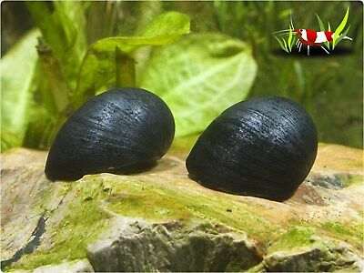 5 x Military helmet algae eating snail Tropical Aquarium live Size