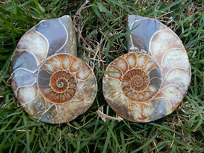 Whole Opalised Ammonite Fossil - Cut and Polished Into Two Halves - with Stands