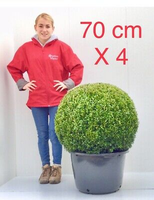 FREE DELIVERY 28-30cm X2 Buxus Semperviren Topiary Box Balls Super Quality,Real