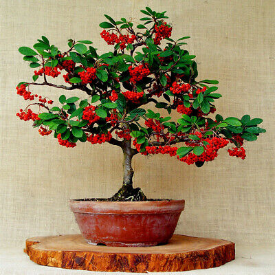 Seeds Coffee Bean Bonsai, Coffee Shrub Of Arabia (Coffea arabica) Organic Plant