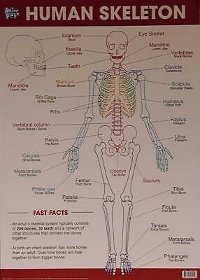 The Human Skeleton Educational Poster New - Maxi Size 49 x 69 cm 27 x 19 inches