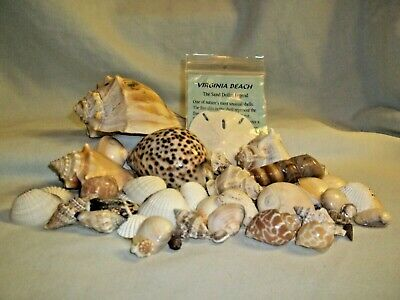 Collection of Sea Shells-Sand Dollar, Welk, Murex, Cowery, Olives and more