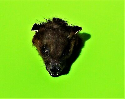 Lesser Short-nosed Fruit Bat Cynopterus brachyotis Head Taxidermy FAST FROM USA