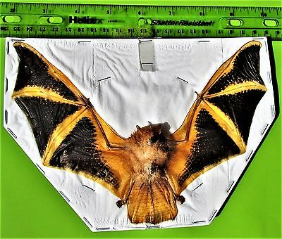 "Lot of 5 Asian Painted Bat Kerivoula picta 7-8"" Wingspan FAST FROM USA"