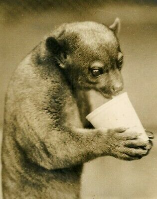 Joey The honey Bear London 's zoo with ice Cream ours brun vintage photo 1920'