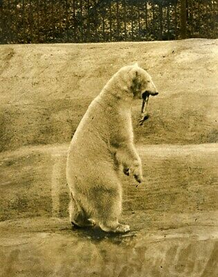 Caber toss for polar Bear of Whipsnade Zoo ours polaire Highland Game Photo 1932