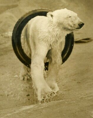 Sam & Barbara Polar bears Whipsnade 's zoo with new toy ours polaire photo 1933
