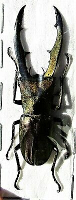 Staghorn Beetle Cyclommatus metallifer finae 50-55 mm Male FAST FROM USA