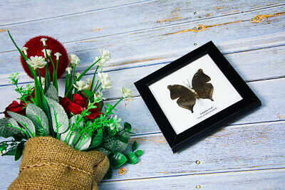 Autumn Leaf Real Butterfly in Frames 4.75 x 4.75 inches Home Decor Collectible