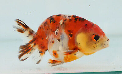 FANCY GOLDFISH - 9cm Calico Ranchu #5 - Courier Available