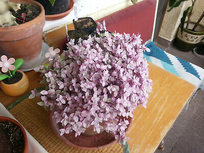 Callisia repens 'Pink Panther'  small potted plant rooty WONDERFUL succulent