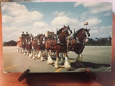 Postcard Used Florida, Tampa Budweiser Clydesdale 8-Horse Team At Busch Gardens