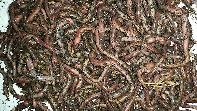 European Nightcrawlers, Euros, Composting and Ice Fishing Worms Free Shipping