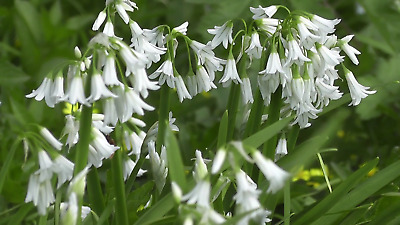Bolly Bulbs®  Whitebells Grown in the UK