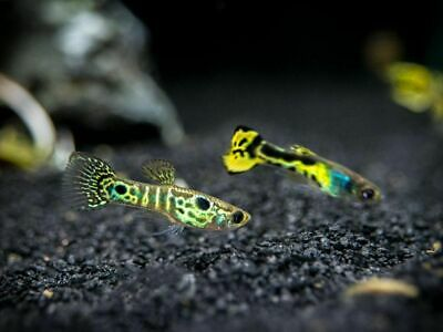 6 ASSORTED LIVE guppies! Sub adult 3 male / 3 female live fish