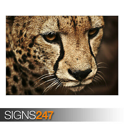 Animal Poster Picture Poster Print Art A0 A1 A2 A3 A4 3725 BLACK CHEETAH