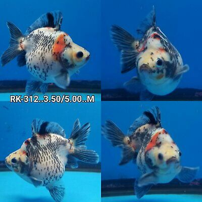 "1 RYUKIN GOLDFISH Try-colors Show   5"" - 6"" Inches  Combination"