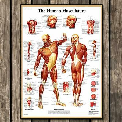 Human Muscular System Education Anatomy Muscle Biceps Poster Print Laminat Hot