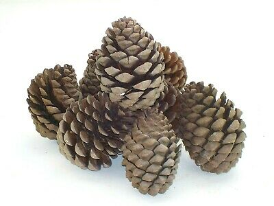 8 large Pine cones.  Flower arranging, craft display, jewellery, sculpture. 3476