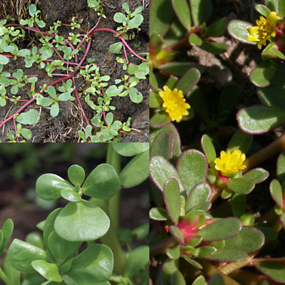 HERB  PURSLANE GOLDEN  30000 FINEST SEEDS PORTULACA OLERACEA BULK