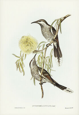 John Gould Lunulated Wattle Bird Vintage Bird Art Print Poster