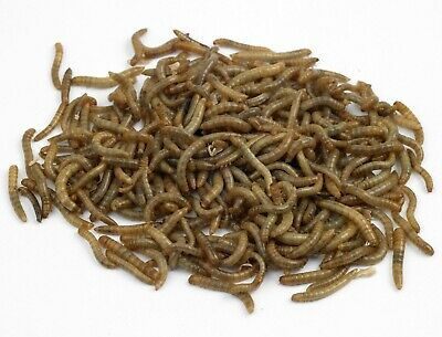 100 to 1000 Live Medium Mealworms Free Shipping Live Arrival Guarantee