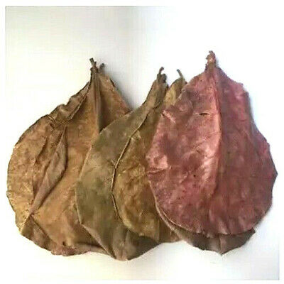 10-15 Almond Leaves Indian Leaf Shrimp Fish Care Make Water Food Form Thailand