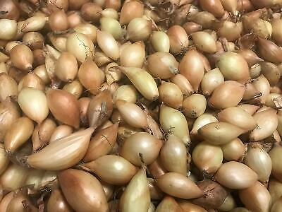 Bolly Bulbs® 'Senshyu' Overwintering Onions - 50 Sets For Autumn Planting