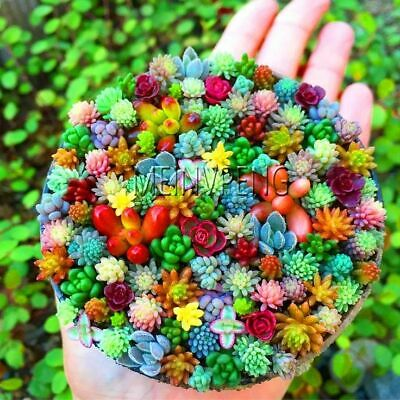 Sempervivum Plants Mixed Seeds Garden Succulents Cactus Bonsai Perennial 100 Pcs