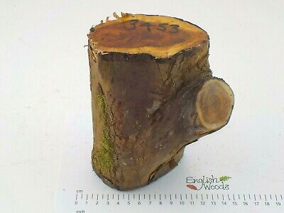 English Crotch Yew woodturning or carving log blank.  90 x 150mm.  3453