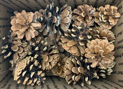 Pine Cone natural Lot 24 Northern Michigan Crafts Fall Home Decor wedding 2 in