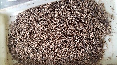 15,000 -20,000 Lg and med Mix Bsfl. Live Soldier Fly Larvae