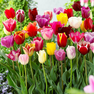 Bolly Bulbs®  Tall Tulips Mixed Coloured, Spring,Mix With Bluebells/Daffodils