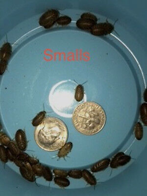 Dubia  Roaches 1000 Count Smalls   (Free Shipping)