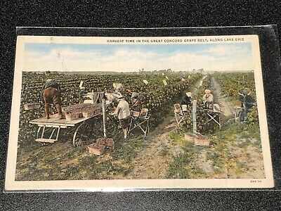 Picking Grapes In The Concord Grape Belt Postcard Along Lake Erie