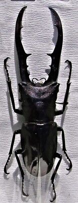 Staghorn Beetle Cyclommatus metallifer finae Black 65mm Male FAST FROM USA