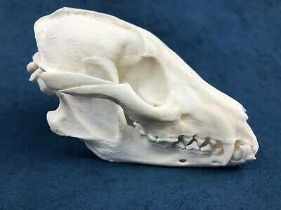 Complete RACCOON  skull professionally crafted taxidemy stuffed tatto curio bone