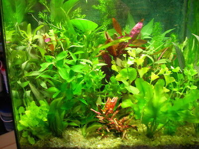 lot de 15  brins   ou tiges de plantes de culture pour aquarium