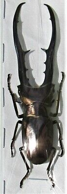 Rare Size Staghorn Beetle Cyclommatus metallifer finae 80mm Male FAST FROM USA