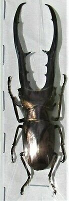 Rare Size Staghorn Beetle Cyclommatus metallifer finae 75mm Male FAST FROM USA
