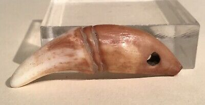Taino Pendant Shaped Like A Dogs Canine. 2 Incised Lines