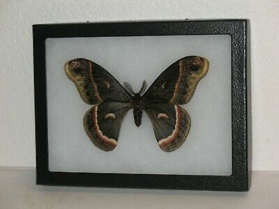 Real framed Cecropia Moth(M) from North America