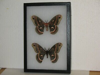Real framed Cecropia Moths(M&F) from North America